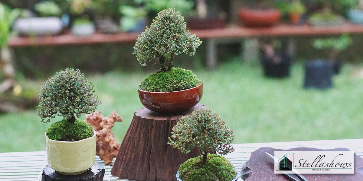 รวมต้นไม้แคระมงคลปลูกเพื่อเสริมความสิริมงคลให้กับคนในบ้าน