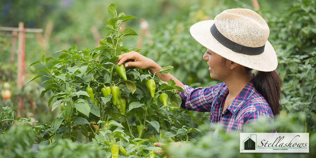 4 ผักสวนครัวปลูกกินได้ ปลูกขายรวย
