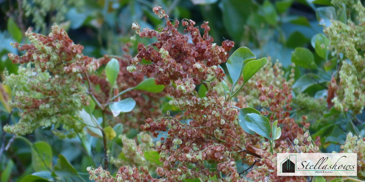 ไม้พุ่มดอกสีน้ำตาลมีกลิ่นหอม สร้างบรรยากาศในสวนได้อย่างดี