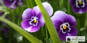 5 อันดับไม้ดอกสีสวยที่น่านำมาปลูกในบริเวณบ้าน-05